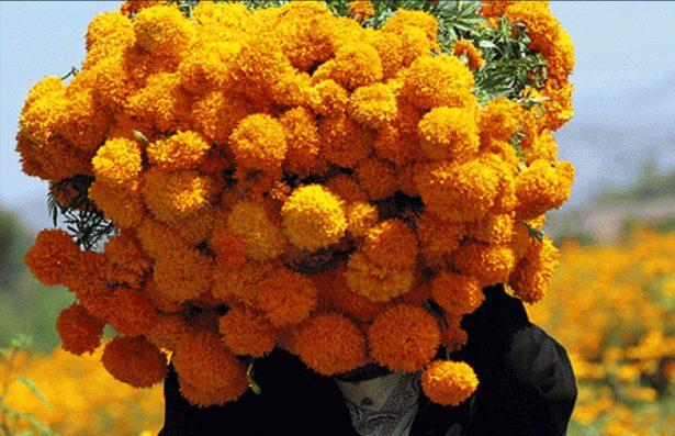 Inicia cultivo de flor de Cempasúchil