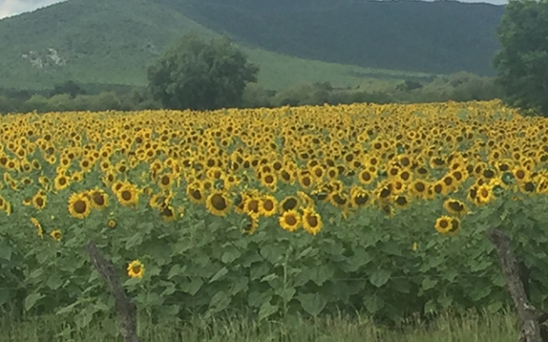 Productores agrícolas sembraron mil hectáreas de girasol para elaborar aceite comestible en lugar de sorgo
