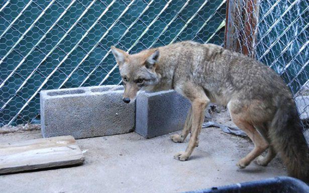 Coyote rescatado será devuelto a su hábitat después del invierno