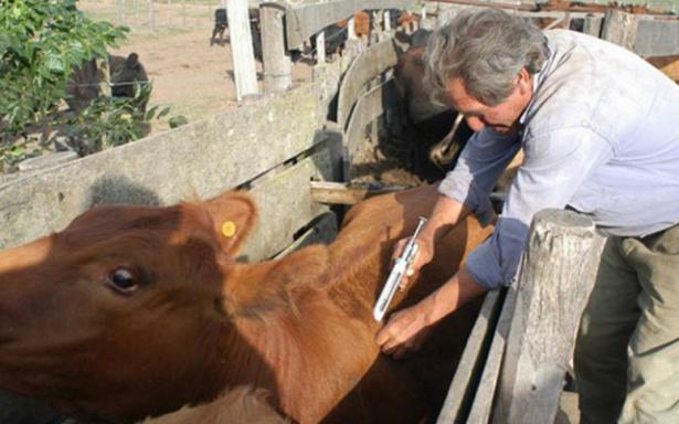 La rabia paralítica bovina no es un problema grave para la Huasteca