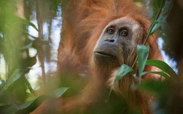 ¡Increíble hallazgo! Descubren nueva especie de orangután en Indonesia