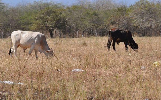Autoriza gobierno 2 mdp en apoyo a ganaderos de la Huasteca