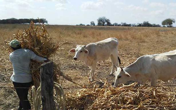Problemas para ganaderos en este año ya no hay forrajes ni agua