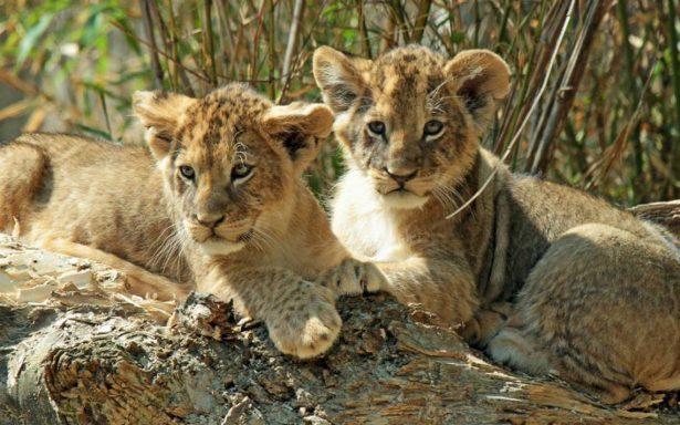 La insólita razón por la que un zoo de Suecia sacrificó a nueve cachorros de león
