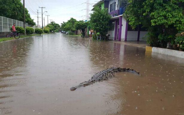 [Video] Tras inundaciones aparecen enormes cocodrilos en calles de Michoacán