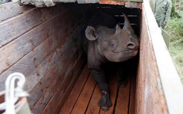 Mueren 8 rinocerontes negros al ser transportados a un parque en Kenia