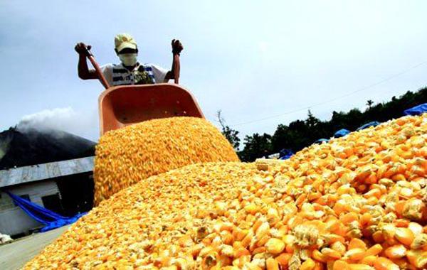 Reportan avances en la siembra de maíz amarillo