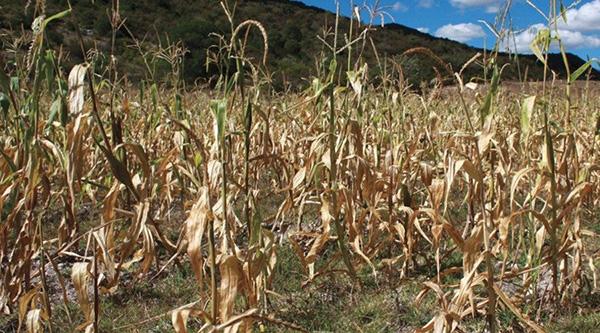 Más de 12 mil hectáreas fueron afectadas por la sequía