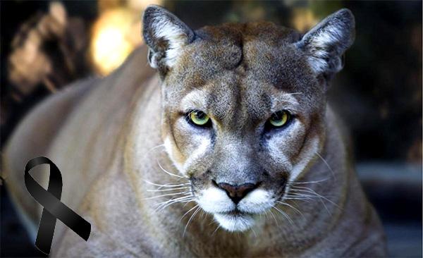 Puma oriental norteamericano, se incluye a lista de animales extintos