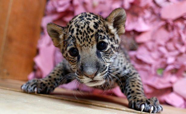 Uno más a la lista: revelan que incrementa peligro de extinción del jaguar