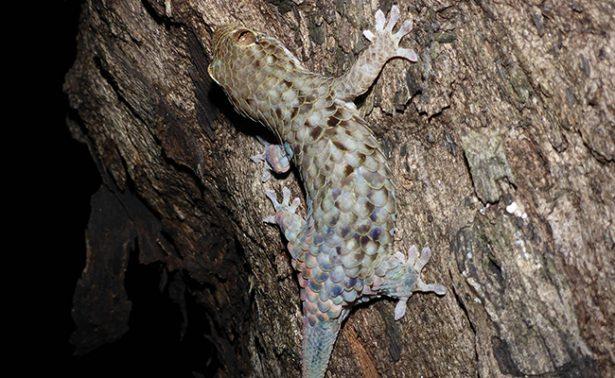 Especie de lagarto sorprende con sus habilidades de escape