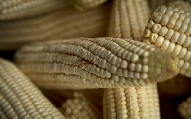 Tribunal suspende la siembra de maíz transgénico en todo el país