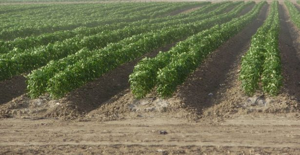 Reduce efecto Trump 60 por ciento la siembra de hortalizas en Altamira
