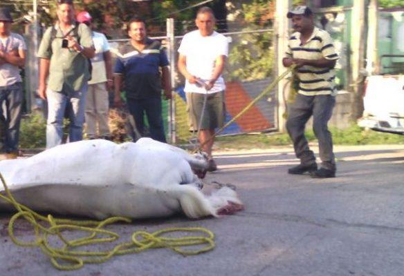 Dramático accidente; tráiler provoca la muerte de un caballo