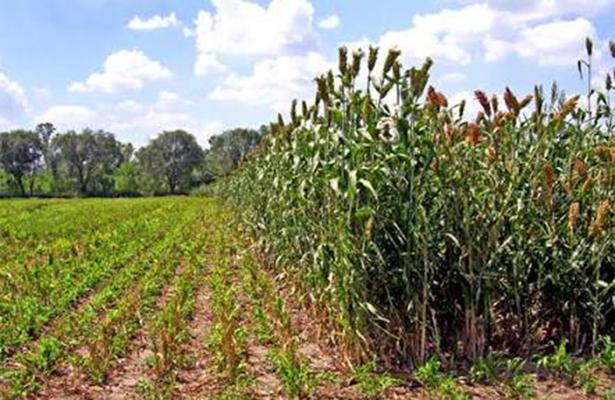Podría rebasar cosecha de sorgo los 245 millones de pesos en Altamira