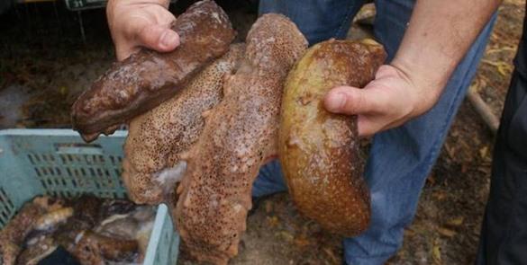Familia traficó toneladas de pepino de mar de México a EEUU