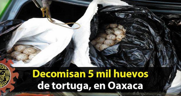 Decomisan 5 mil huevos de tortuga, en la costa de Oaxaca
