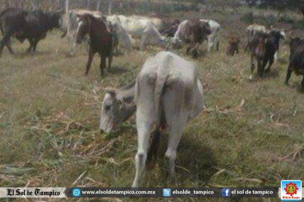 Intensa sequía mata al ganado en Tampico Alto