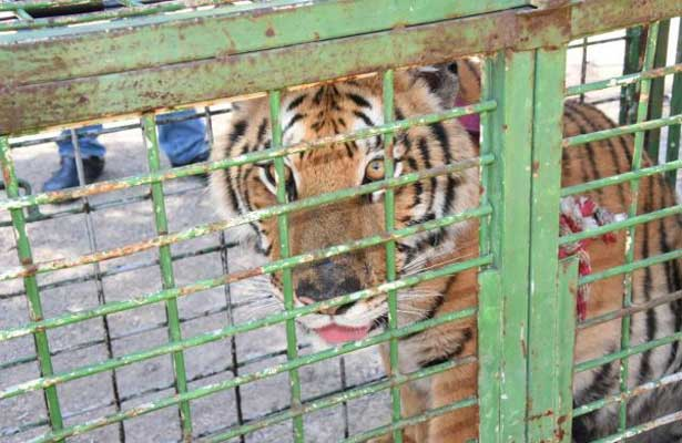 Familia encuentra tigre de Bengala en su patio trasero