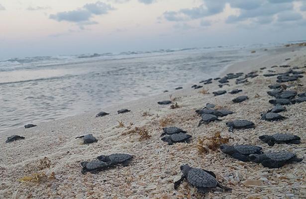 Aumenta el número de crías de tortuga lora este año