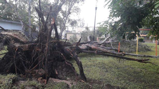 Cae enorme eucalipto en la plaza Sierra Morena