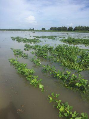 A causa de las lluvias se perdieron sembradíos de Soya
