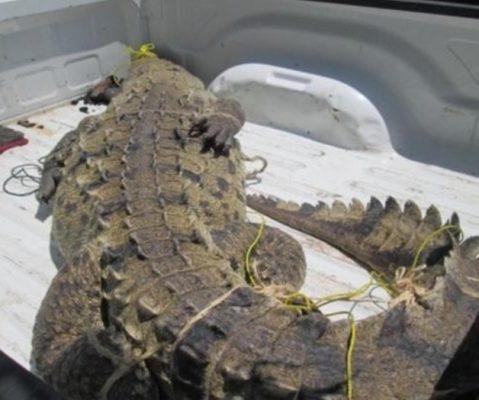 Capturan a enorme cocodrilo en los patios de una Terminal Marítima de Altamira