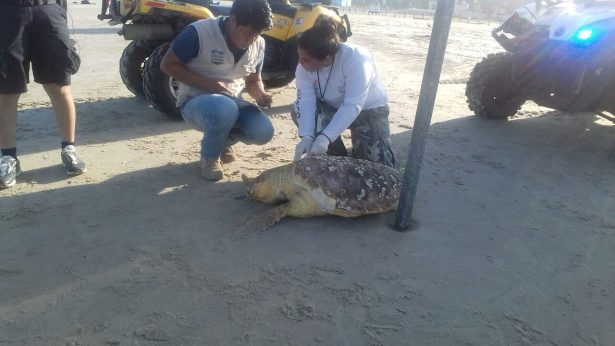Hallan otra tortuga muerta en playa de Madero