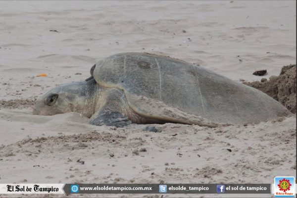 Reducen programa binacional de protección a tortuga marina en costa de Tamaulipas