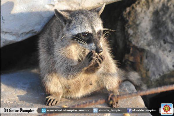 Patronato de Protección a Mapaches Miramar se endeudará para esterilizar parte de la especie