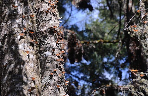 Mariposa Monarca en el Santuario San Pablo Malacatepec