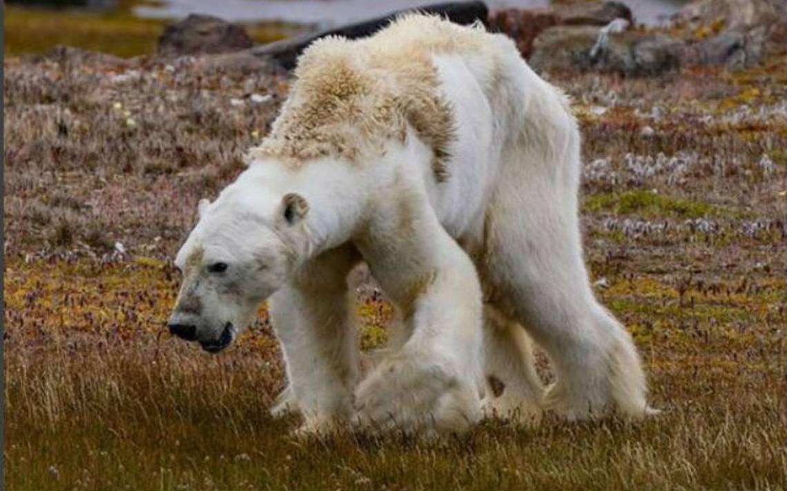 La agonía de un oso polar en el Ártico… sin nieve