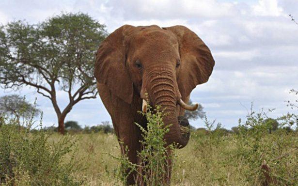Recaudan fondos para llevar a elefante al dentista