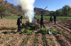 Destruyen plantíos de marihuana y amapola en Zacatecas