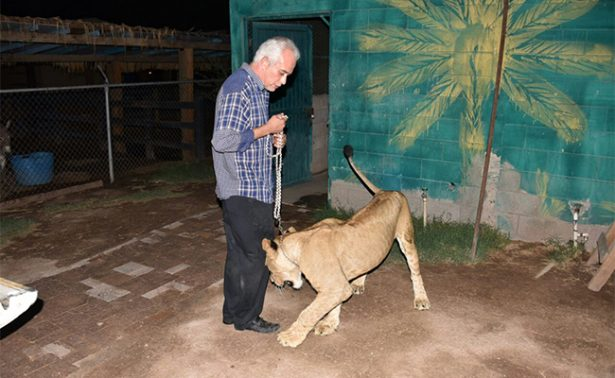 En medio de operativo, la leona Kendra llega al zoológico
