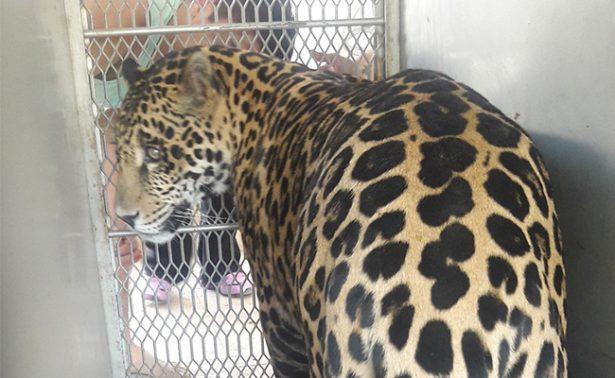 Aseguran jaguar en SLP; lo tenían de mascota