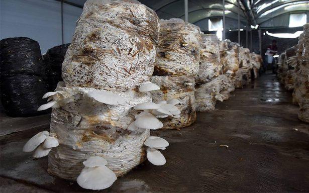Producen en Ixtlahuaca el alimento del futuro