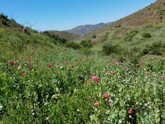 Destruyen 2.8 hectáreas de amapola en Tecate