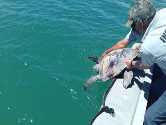 Retorna tortuga prieta al mar