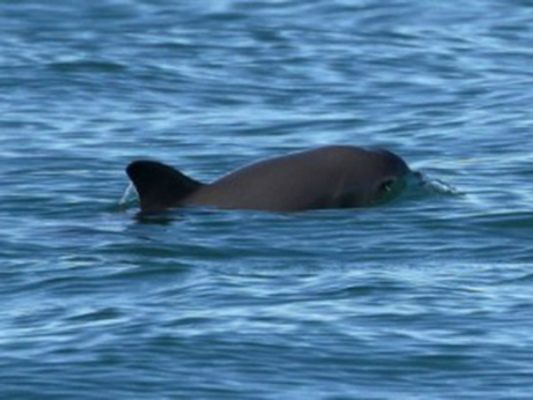 Llegan a Tijuana científicos del mundo para salvar vaquita marina