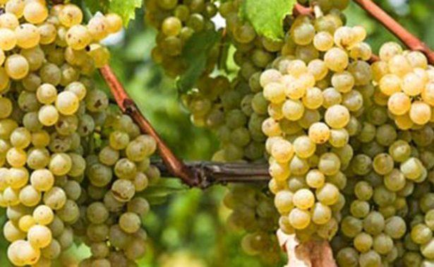 Presentan iniciativa para el fomento de industria vitivinícola