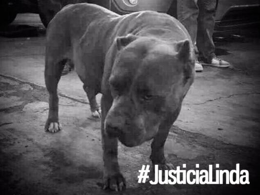 "Pitbull abandonada asesinada de forma salvaje en ""La Libertad"""