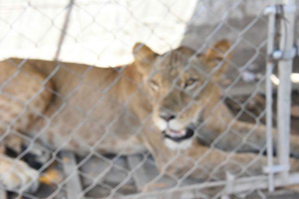 Localizan leona en residencia abandonada de Mexicali