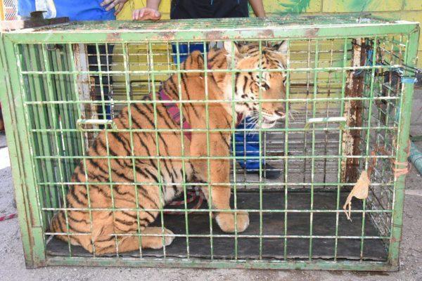 Llega nuevo huésped a Bosque, se trata de la tigresa Olivia