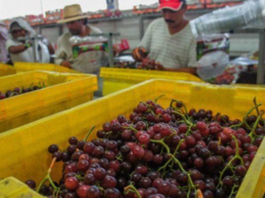 Se comercializa uva de BC hasta Australia
