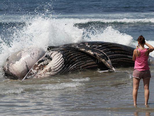 Hallan  cadáver de ballena en Rosarito