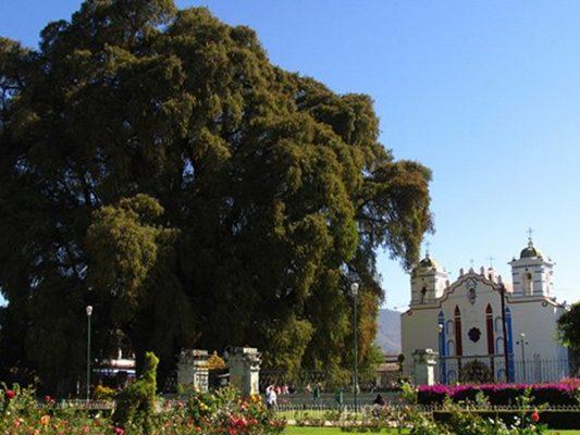 Oaxaca celebra grandeza de milenario Árbol del Tule