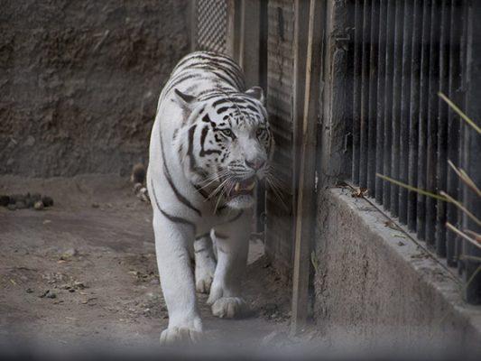 Zoológico de Tijuana es también refugio de animales rescatados
