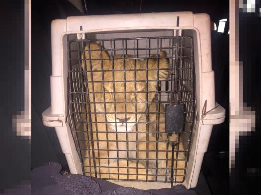 """2 jóvenes fueron detenidos por """"el Pacífico"""" con un león cachorro"""