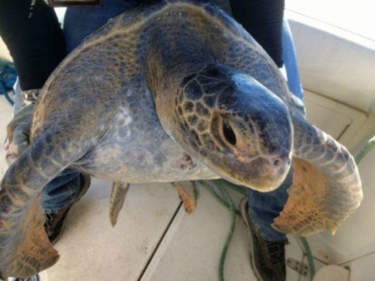 Rescatan tortuga marina atrapada en red en Alto Golfo de California
